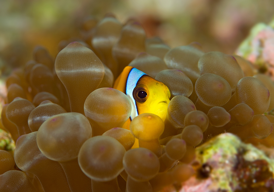 Amphiprion_bicinctus_small.jpg